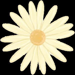 黄色いマーガレット